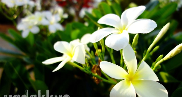 Photo of the Flowers of the Plumeria Obscura or Firangipani