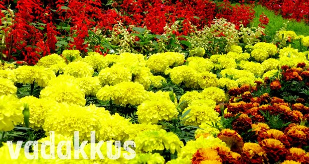 Red, Yellow and Gold flowers make up a flower carpet at the Bangalore Flower show 2014