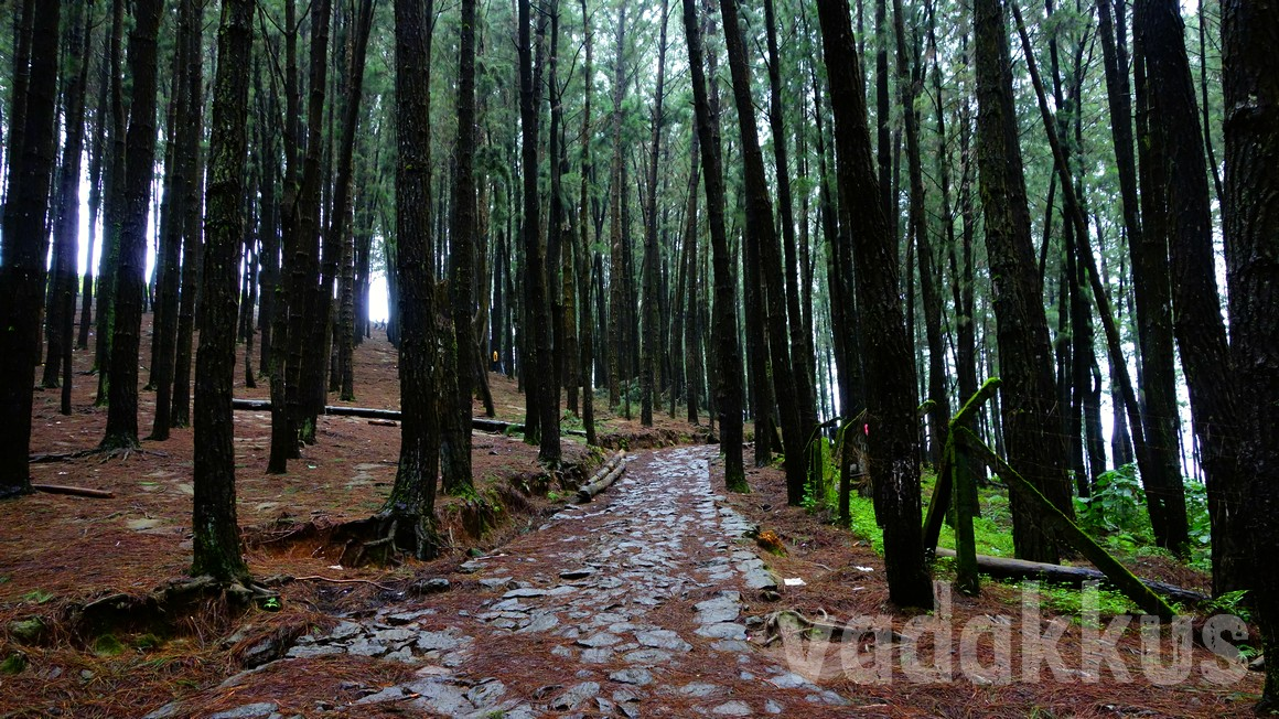 Photo of the Pine Forest in Vagamon Kerala