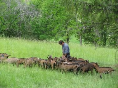 Le chevrier et son troupeau