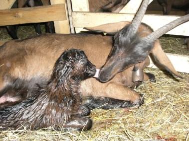 La mise bas des chèvres