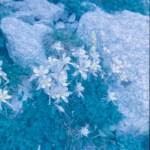 Anscochrome Film - Mountain flowers