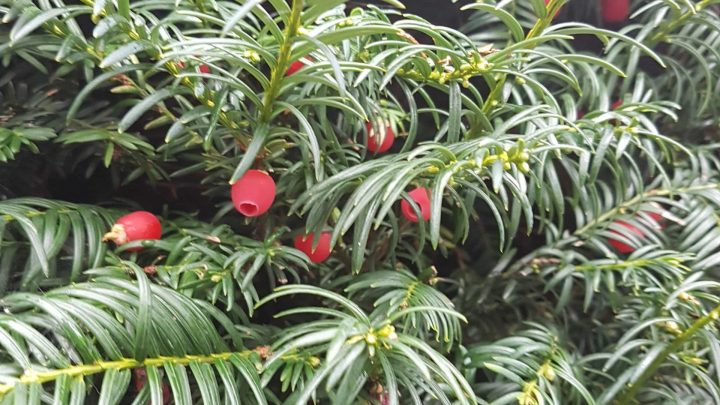 Yew berries for my yew liqueur in a hedge