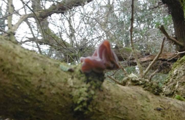 Jew's Ear Fungus