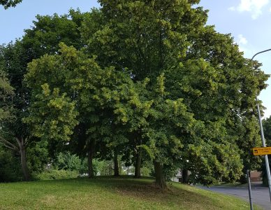 Lime or Linden Tree Flowers – Tilia x europea