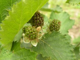 blackberries in the making