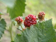 almost black blackberries