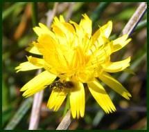 ant on yellow flower (©2011 Tisha Clinkenbeard)
