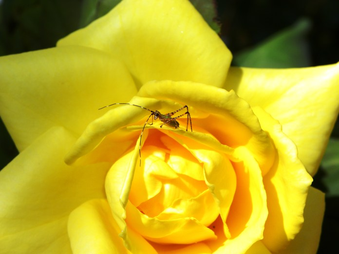 yellow rose visitor