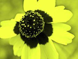 yellow flower toning