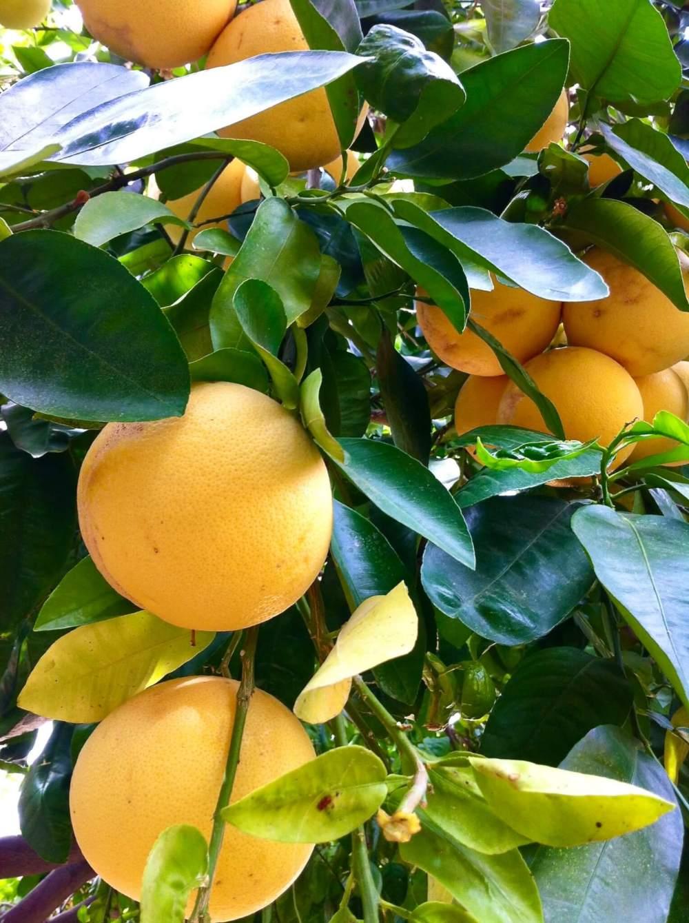 grapefruit tree