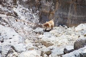 Достопримечательности Крита: критские козы в ущелье Рувос