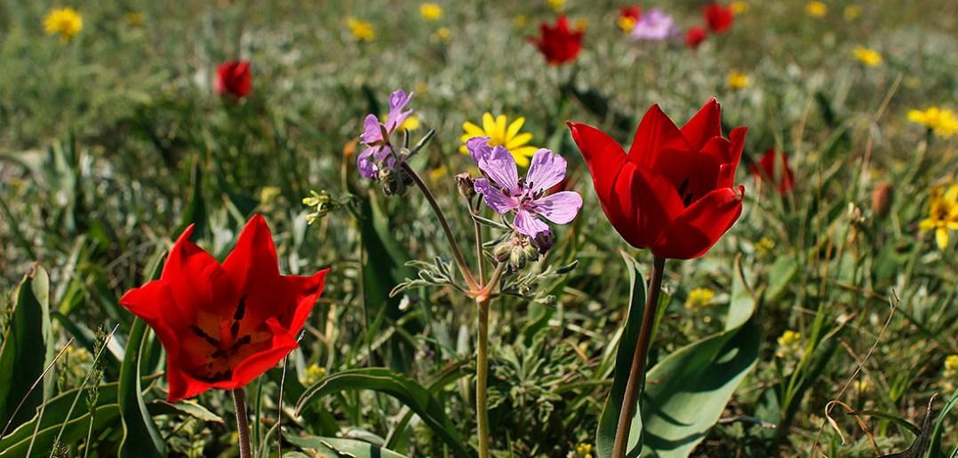 Тюльпаны Шренка, Опукский природный заповедник, Крым