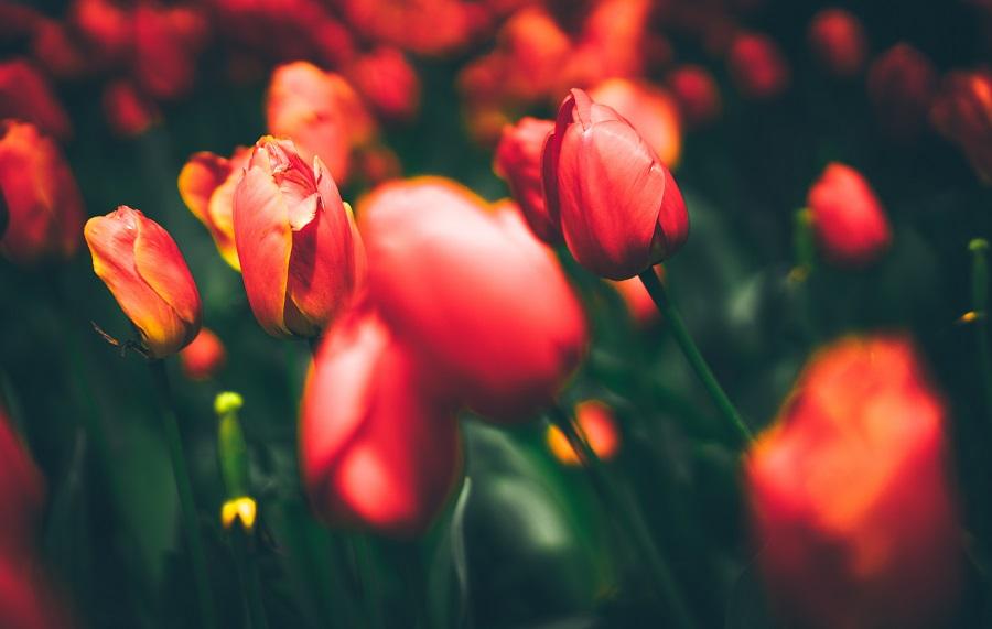 Фестиваль тюльпанов в Стамбуле — программа и даты [year]