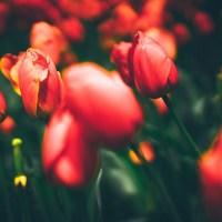 Фестиваль тюльпанов в Стамбуле — программа и даты 2019