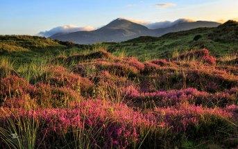Где и когда в Ирландии цветет вереск