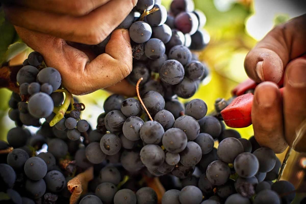 Французский виноград название