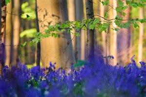 Синий лес Бельгии