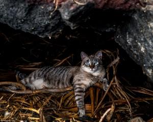 Waikoloa feral cats (10 of 22)