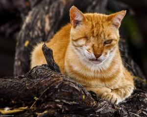 Waikoloa feral cats (15 of 22)