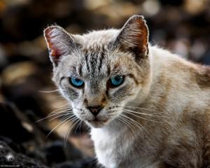 Waikoloa feral cats (1 of 22)