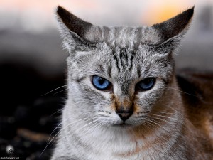 Waikoloa feral cats (20 of 22)