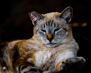 Waikoloa feral cats (3 of 22)