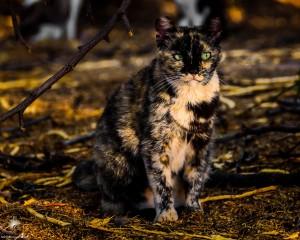 Waikoloa feral cats (5 of 22)