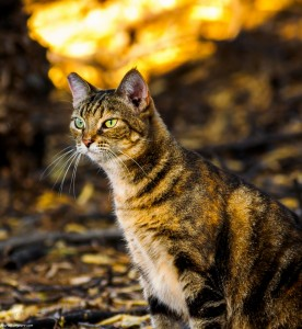 Waikoloa feral cats (7 of 22)