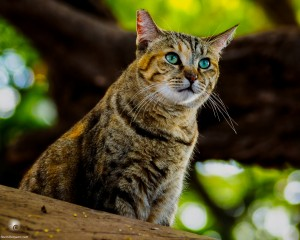 Waikoloa feral cats (8 of 22)