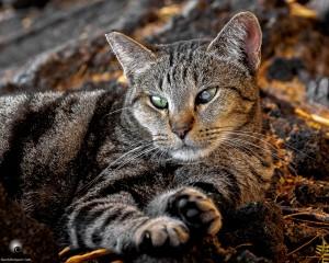 Waikoloa feral cats (9 of 22)