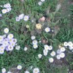 Flowers along Salmon Run Trail