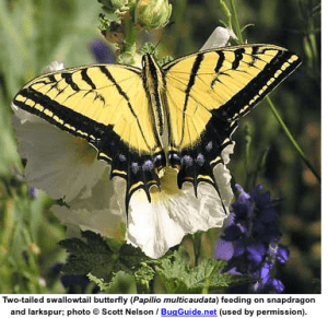 Two Tailed Swallow Tailed Butterfly