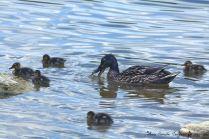 Mama Duck w/ baby at Art Musuemm