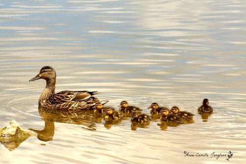 Ducks4 smpp