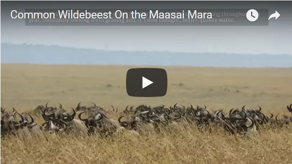 Common Wildebeest on the Maasai Mara