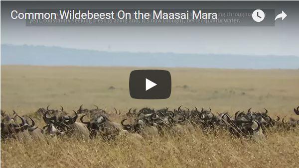 Common Wildebeest on the Maasai Mara