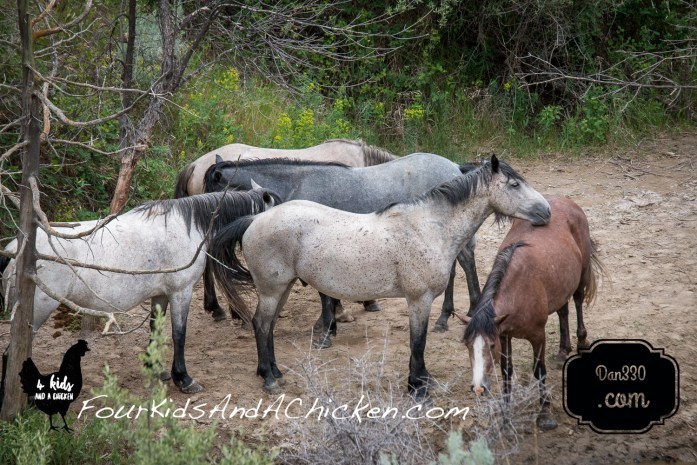 wild horses in theodore roosevelt national park