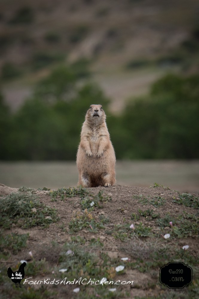 prairie dogs near dickinson