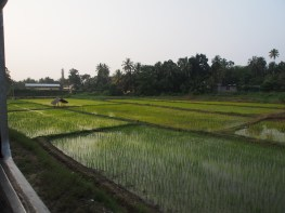 rice paddies from the train