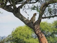 sleepy leopard in Tarangire