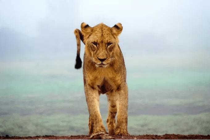 lionFierce.PNG