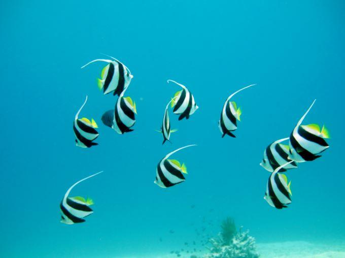 oceanZebraFishYellow.JPG