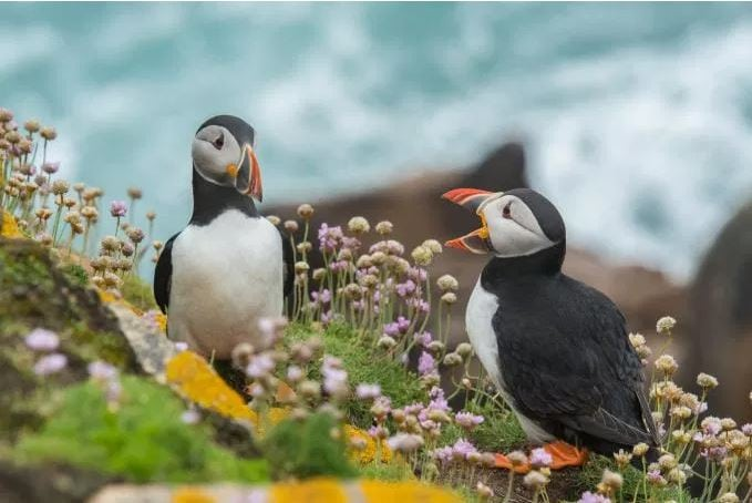 puffinTwo