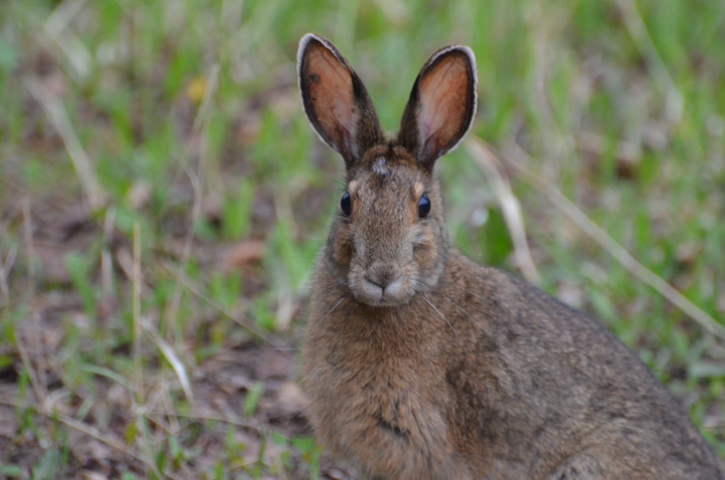 Living With Us…Snowshoe Hare (Waboos)