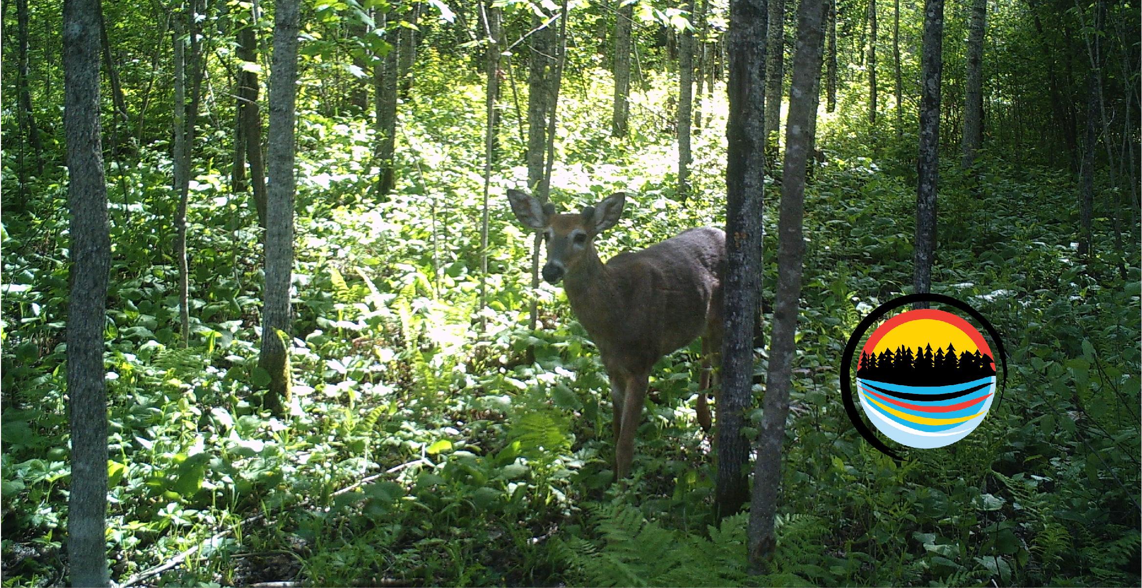 Living With Us… Deer Species (Mooz, Atik & Wawashkeshii)