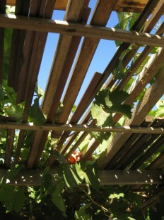 Frame lengths seasoning in the grapevine.