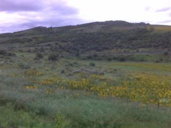 Sunflowers near Yampa