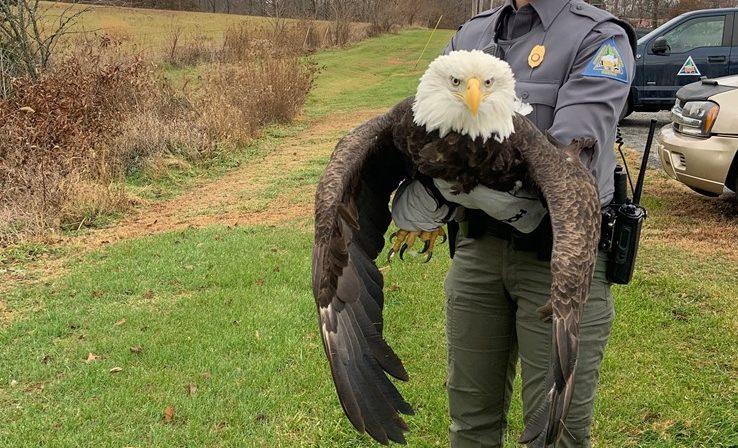 Injured bald eagle MDC
