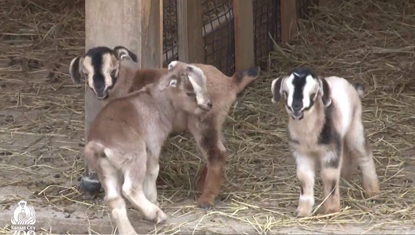 Picture of baby goats